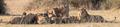 Leones (Panthera leo) deborando un búfalo africano negro (Syncerus caffer caffer), parque nacional de Chobe, Botsuana.png
