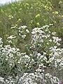 Lepidium papilliferum flowering in SW Idaho 2.jpg