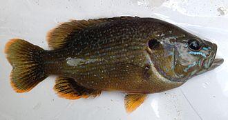 Green sunfish - Adult
