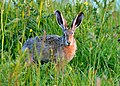 Lepus europaeus (watchful).jpg