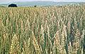 Les Plantes Cultivades. Cereals. Imatge 1816.jpg