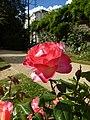 Les roses du thabor - panoramio.jpg