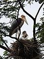 Lesser Adjutant Leptoptilos javanicus nest by Dr. Raju Kasambe DSCN1471 (12).jpg