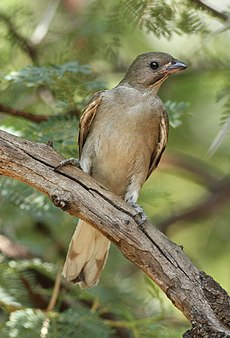 Lesser honeyguide, Indicator minor, at Pilanesberg National Park, South Africa (15809562029).jpg