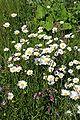 Leucanthemum vulgare1.jpg