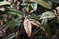 Leucothoe fontanesiana Rollisonii 2zz.jpg