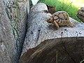 Libyan Turtle.jpg