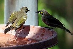 Lichenostomus chrysops -Laguna, New South Wales, Australia -bird bath-8.jpg