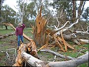 Eucalyptus tree that was blown apart by a lightning strike
