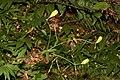 Lilium columbianum 3942.JPG