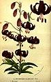Lilium martagon var dalmaticum Maly, Louis van Houtte.jpg