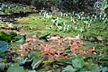 Lily pond, Batsford Arboretum-geograph-3735440-by-Philip-Halling.jpg