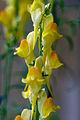 Linaria dalmatica ssp dalmatica 0024001.jpg