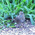 Lincoln's Sparrow (26367814032).jpg