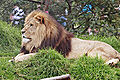 Lion02 - melbourne zoo.jpg