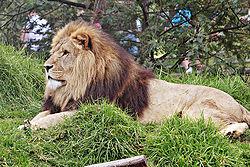 獅子公一隻
