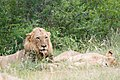 Lions resting (2253206408).jpg