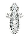 Lipeurus forficulatus f.png