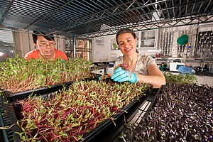 Microgreen - Visiting scientist Liping Kou (left) and technician Ellen Turner harvest different types of microgreens for shelf-life studies and nutrient analyses.
