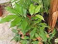 Litchi sinensis.jpg