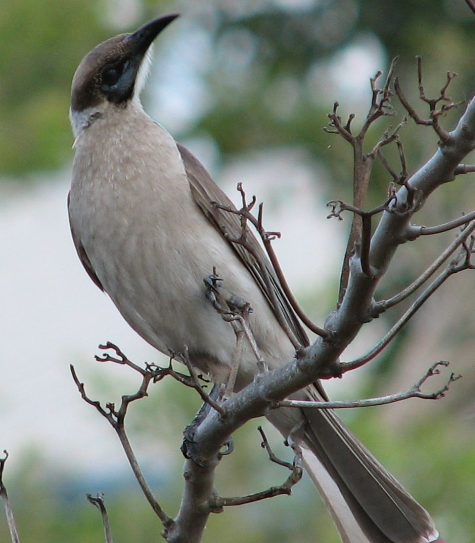 Little friarbird - Wikipedia