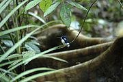 Little Kingfisher, Daintree.jpg