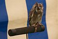 Little Owl, Cheshire Game and Country Fair 2014 2.jpg