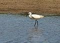 Little egret near Aveton Gifford.jpg