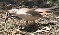 Little friarbird.JPG