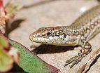 Lizard March 2009-1.jpg