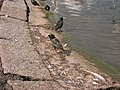London, Kensington Gardens, birds - geograph.org.uk - 1095244.jpg