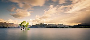 Wanaka - Image: Lonely tree of Wanaka