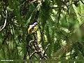 Long-tailed Minivet (Pericrocotus ethologus) (28551828646).jpg