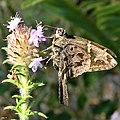 Long-tailed Skipper (Urbanus proteus) (6816922372).jpg
