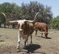 Longhorn cattle at the Enchanted Springs Ranch, a working ranch in Boerne, Texas, whose Old West Town is often used in movies and videos LCCN2015630429.tif