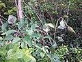 Lonicera caprifolium sl5.jpg
