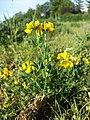 Lotus corniculatus var. corniculatus s. lat. sl4.jpg