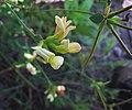 Lotusgrandiflorus.jpg