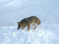 ¿Por que hay muchos therians lobos? - Página 2 200px-Lycalopex_culpaeus_%28Ushuaia%29