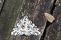 Lymantria concolor concolor (46513116031).jpg