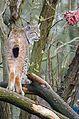 Lynx (17055455275).jpg