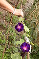 Madeira - Paul do Mar first morning glory flowers (24512650482).jpg