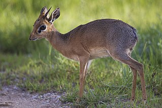 Kirks dik-dik species of mammal