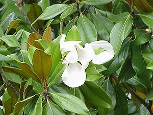 Magnolia grandiflora, family Magnolia...