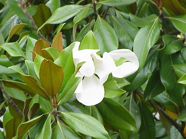 Magnolio (Magnolia grandiflora)