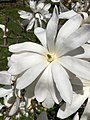 Magnolia salicifolia (Anise Magnolia, Willow-leaved Magnolia, Anise Leaf Magnolia) (42164754024).jpg