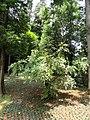 Mahonia flavida - Kunming Botanical Garden - DSC02982.JPG