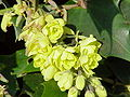 Mahonia japonica1.jpg