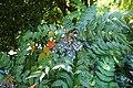 Mahonia japonica kz9.jpg