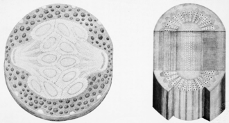 Plant anatomy - Vascular tissue of a gooseberry vine from Grew's Anatomy of Plants